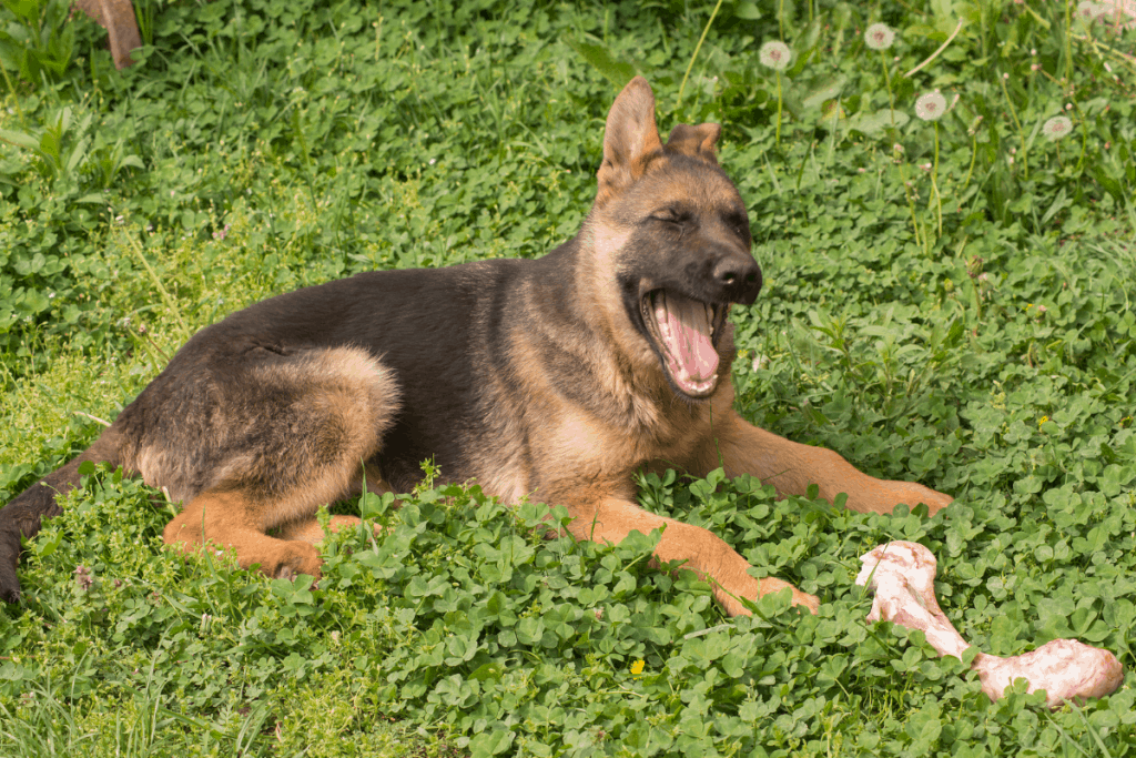 German Shepherd puppy with bone