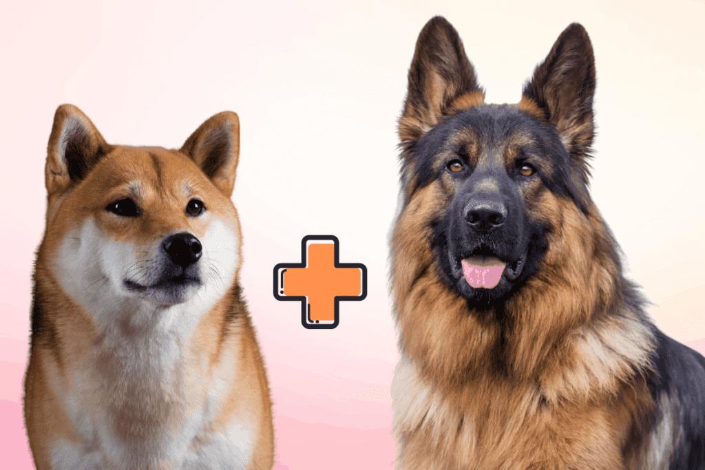 Shiba Inu and German Shepherd