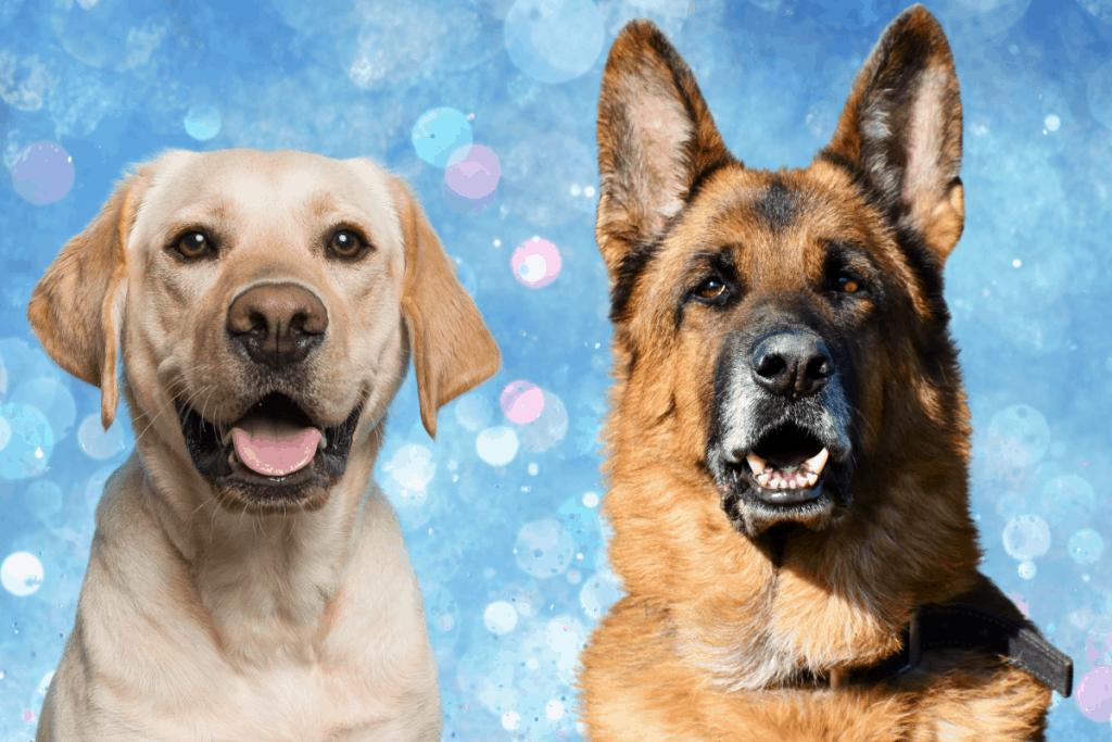 German Shepherd and Labrador