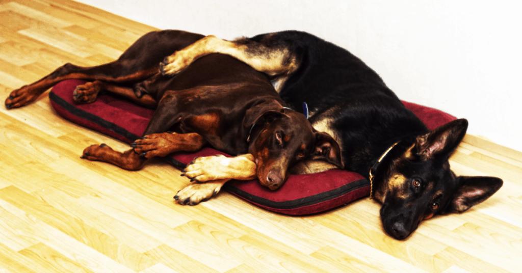German Shepherd and Doberman laying together
