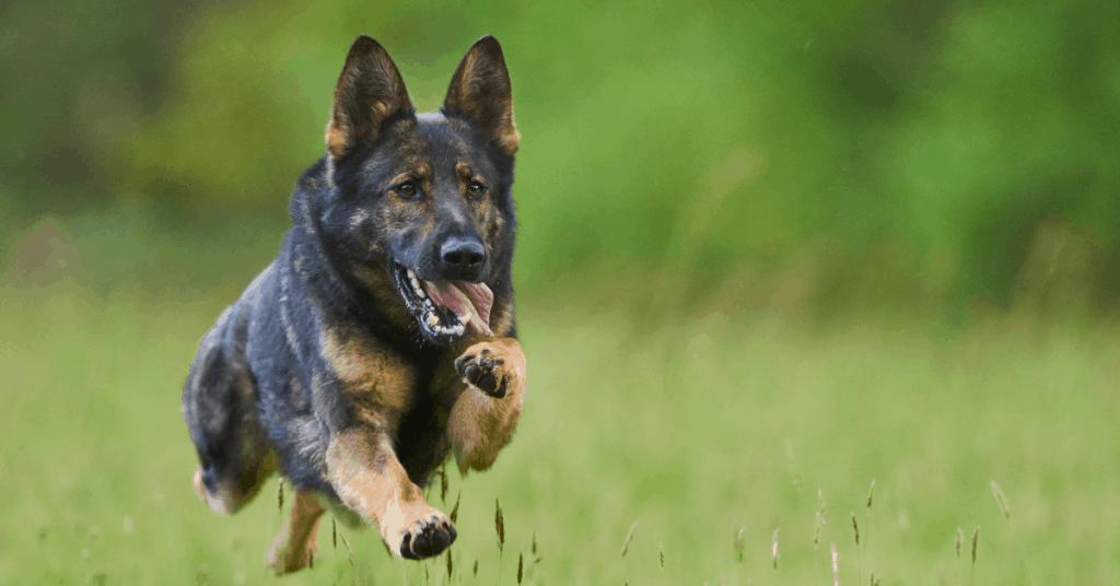 German Shepherd running and jumping