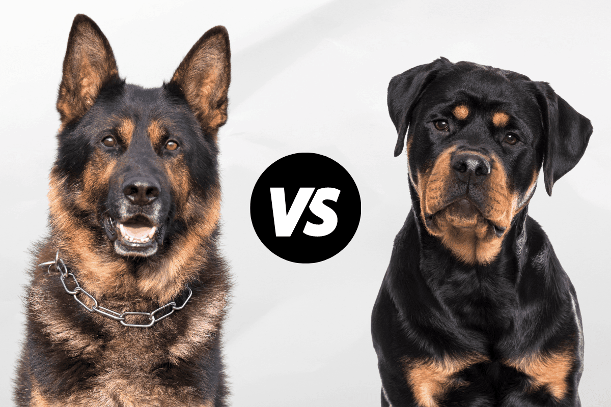 German Shepherd vs Rottweiler: Which Is Right for You ...