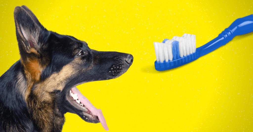 German Shepherd looking at toothbrush