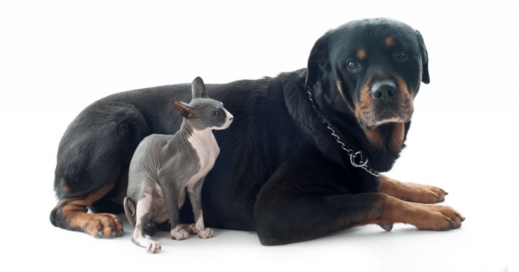 Rottweiler with hairless cat