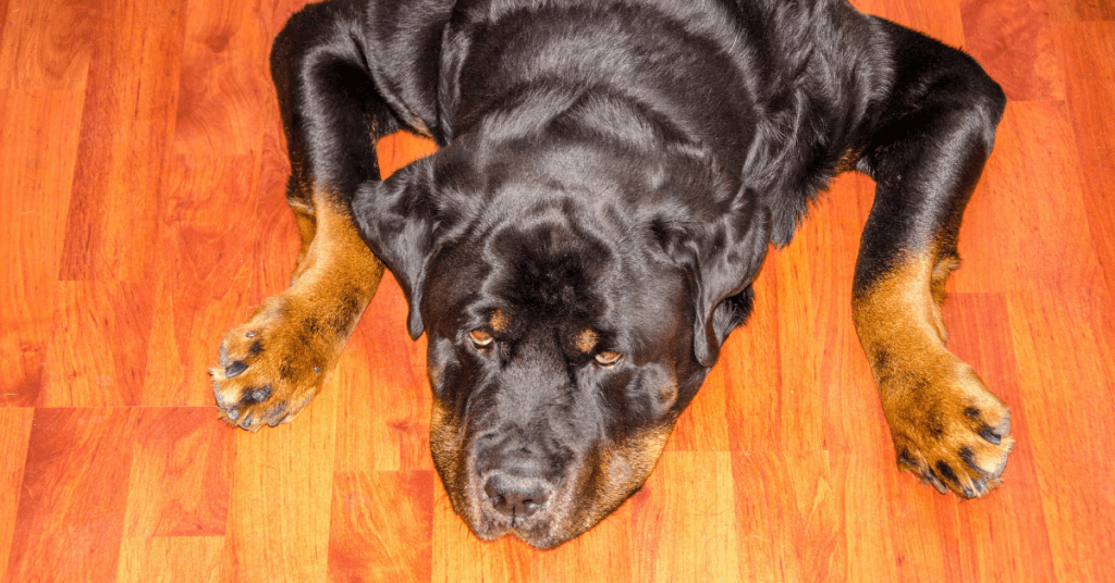 Rottweiler on floor