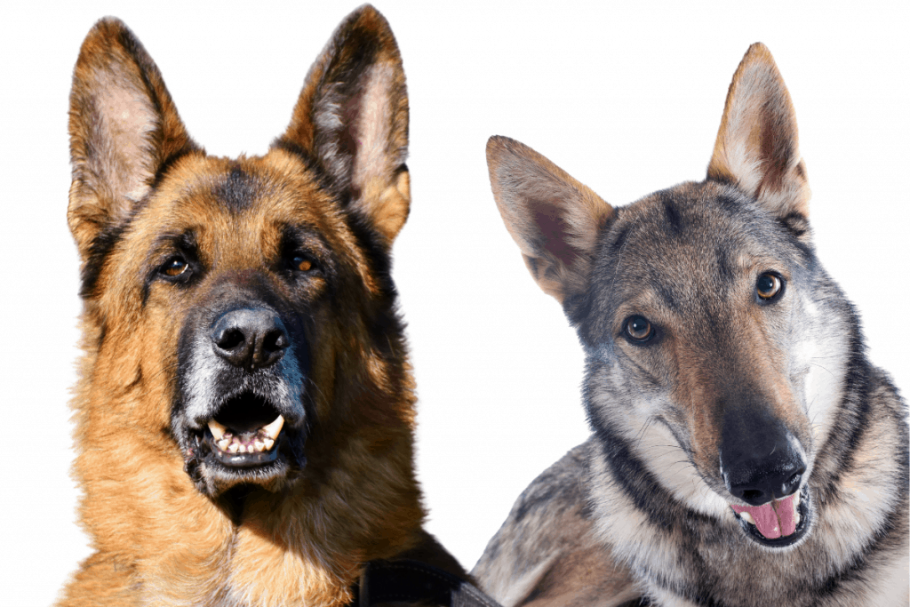German Shepherd and Czech Wolfdog
