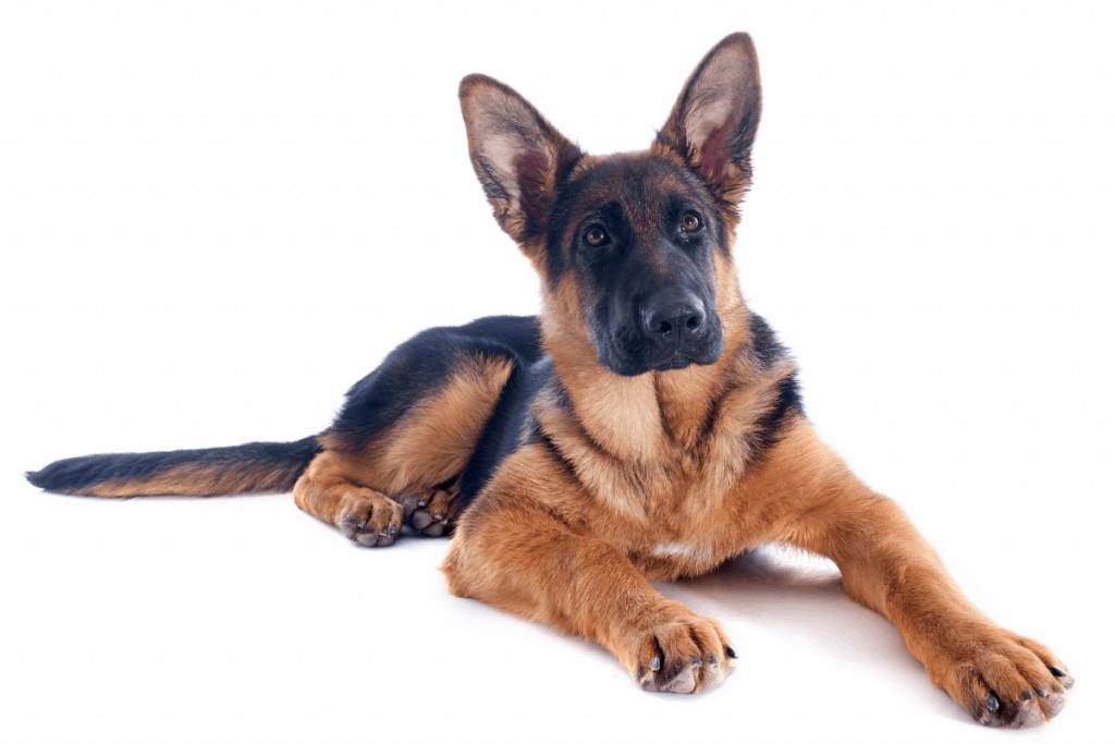 4 month old German Shepherd