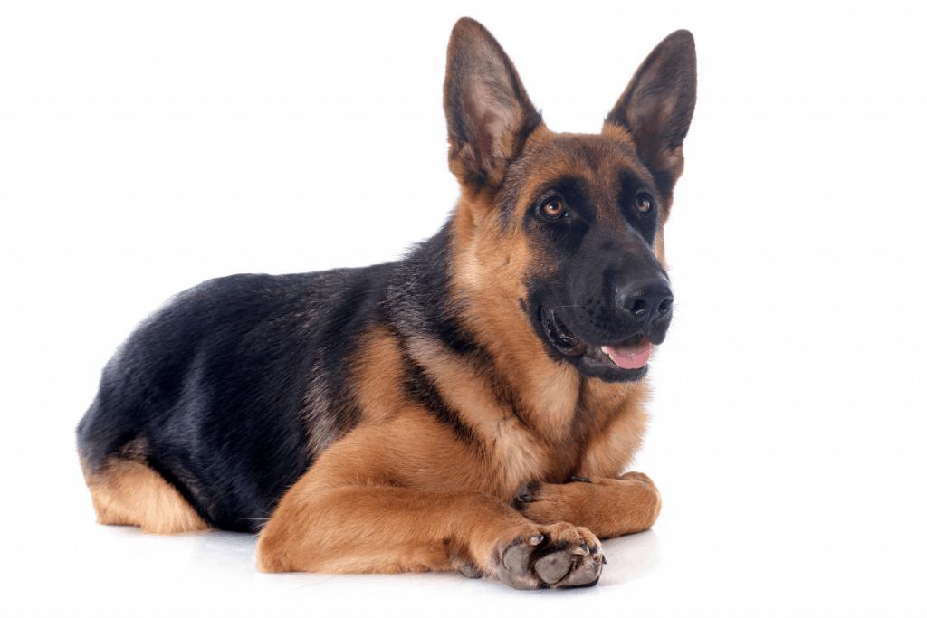18 month old German Shepherd