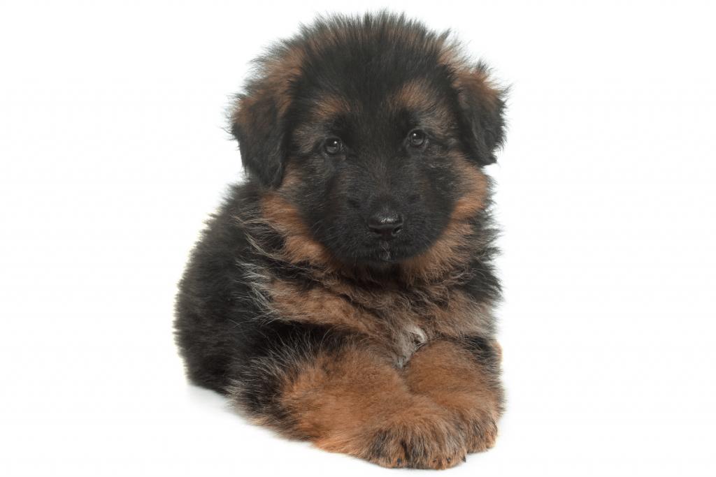 newborn German Shepherd