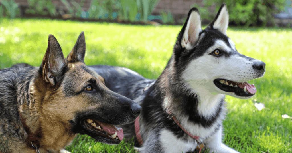 German Shepherd and Husky lying in grass