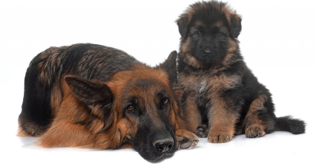 German Shepherd adult and pup