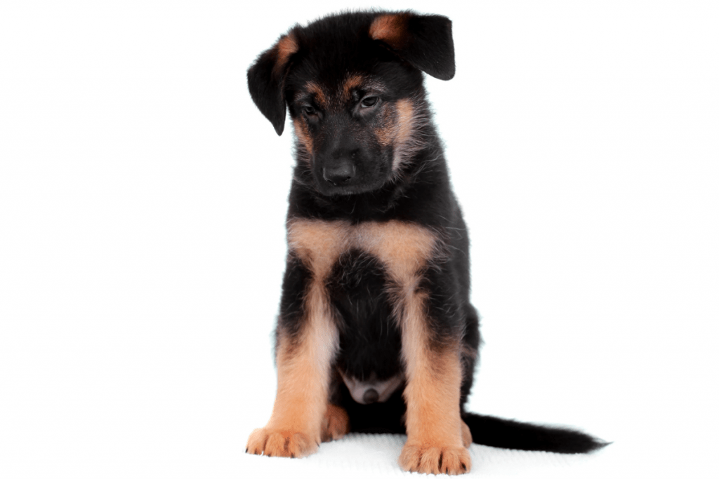 6 week old German Shepherd