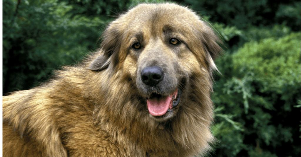 Estrela Mountain Dog