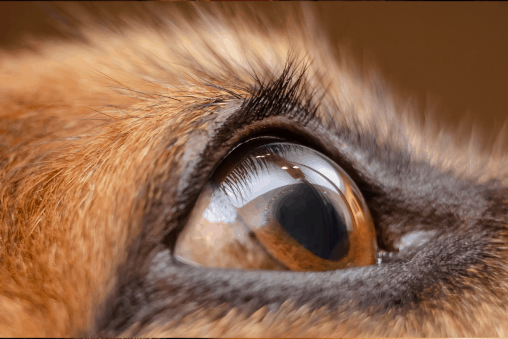 German Shepherd eye close-up