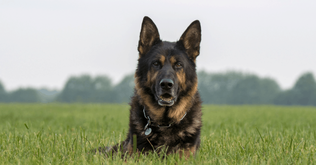 German Shepherd laying in grass