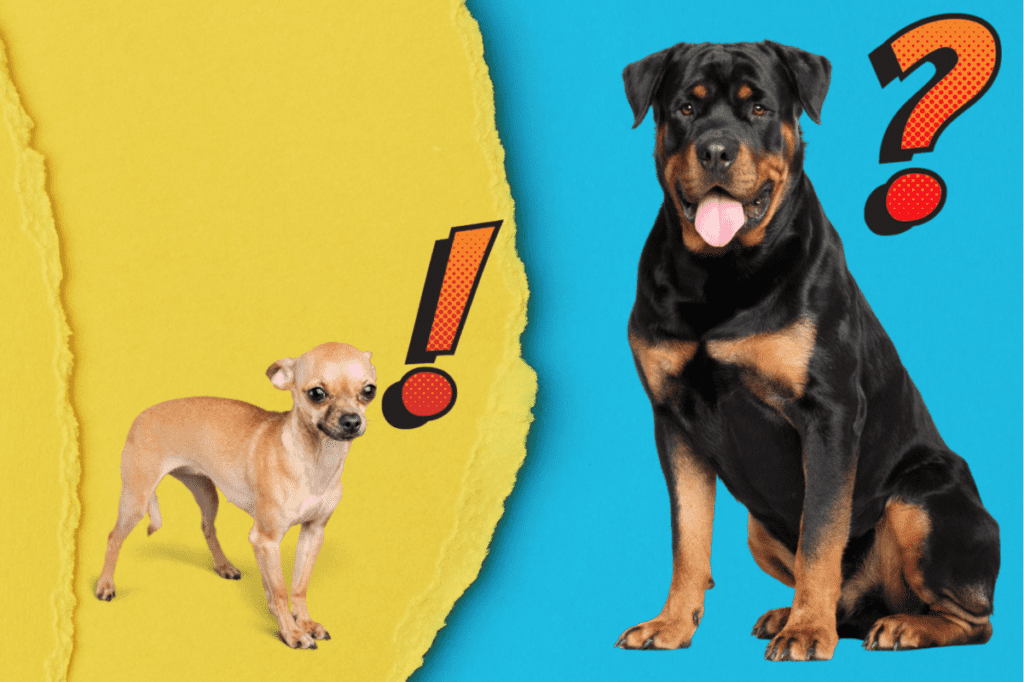 Rottweiler and chihuahua