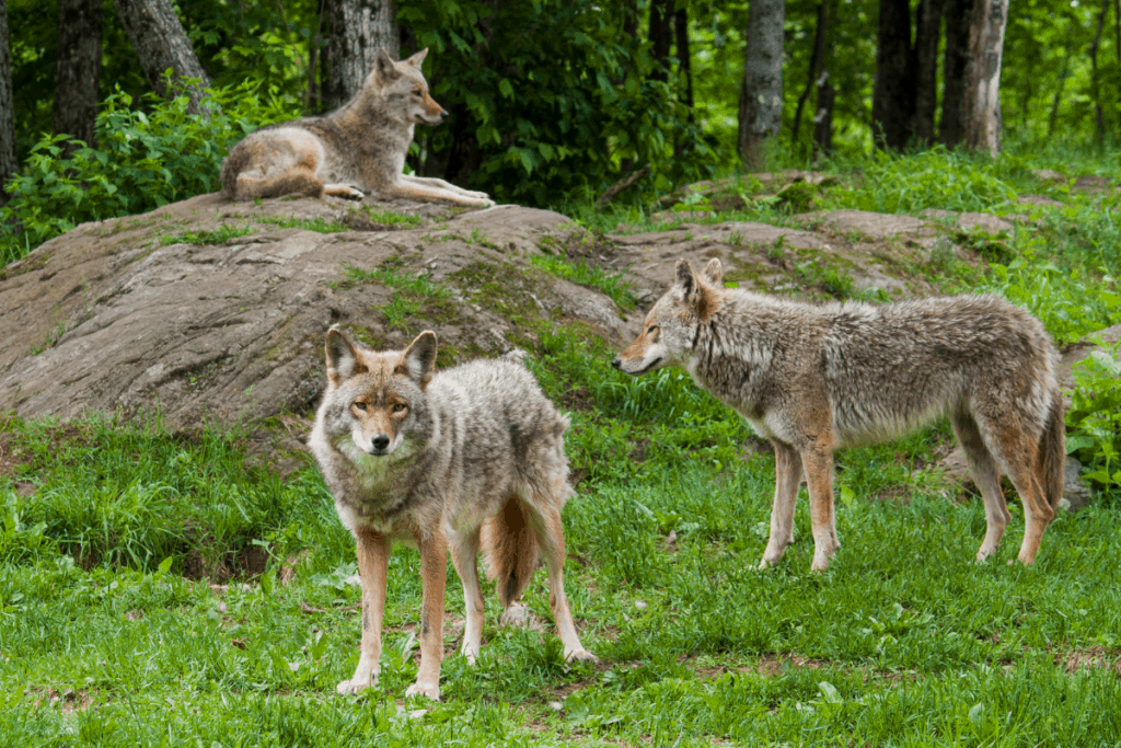 coyote pack
