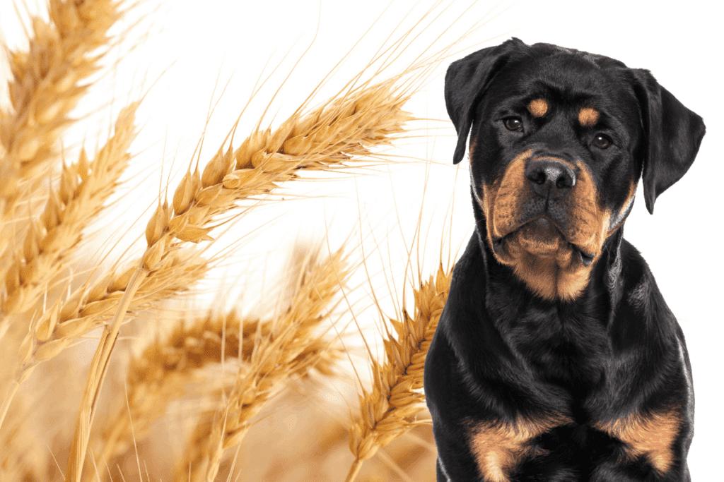 Rottweiler and grain