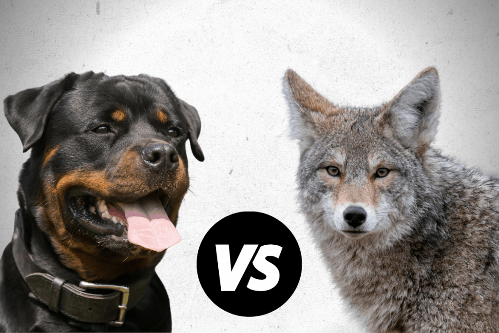Rottweiler and coyote