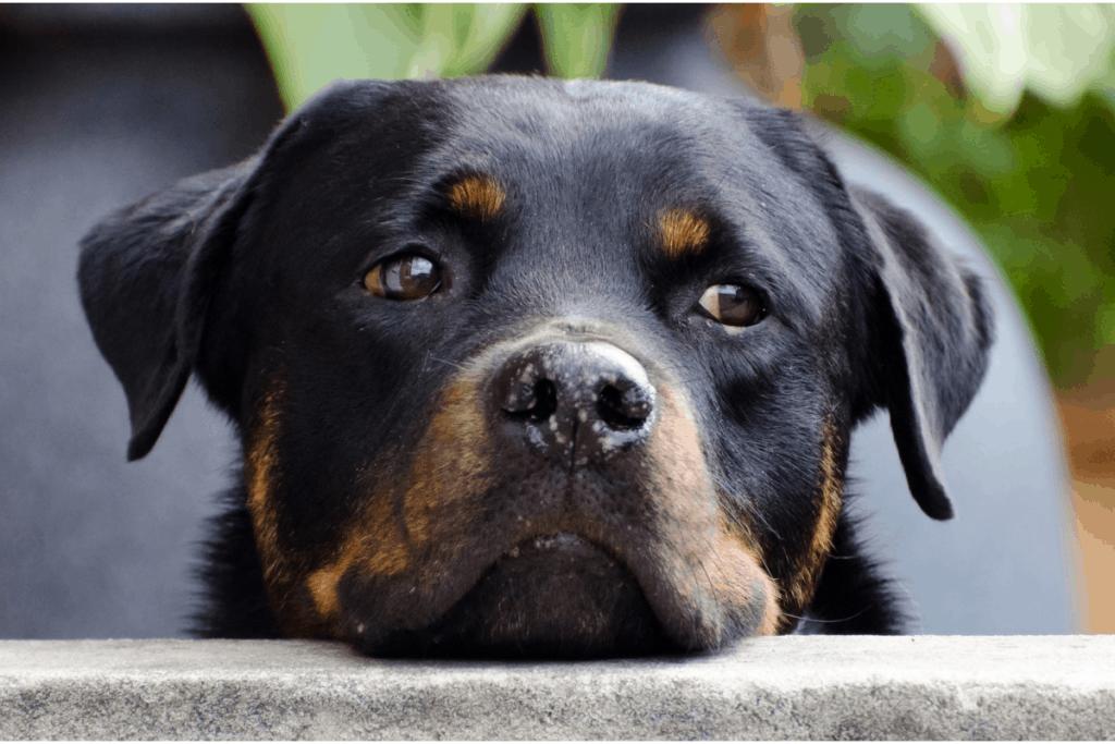 thinking Rottweiler