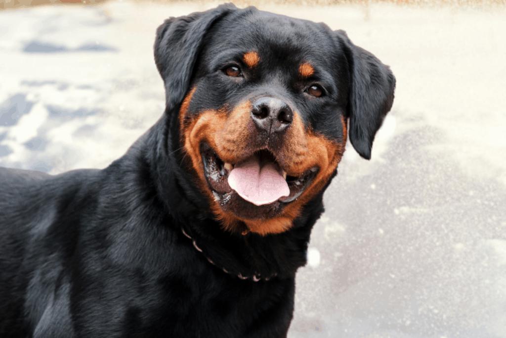 curious Rottweiler