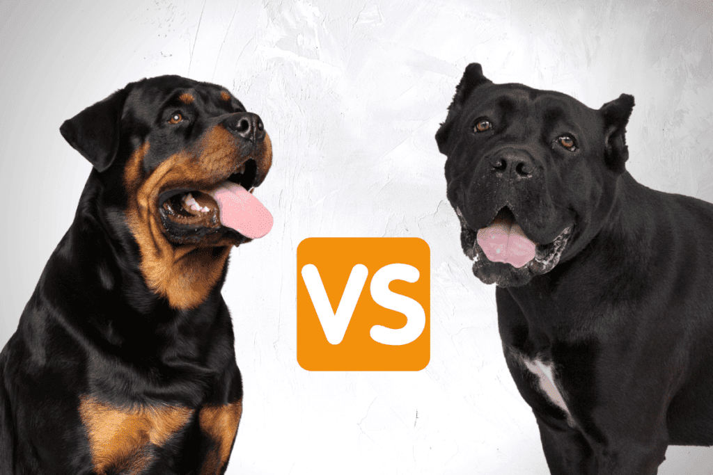 Cane Corso and Rottweiler faces