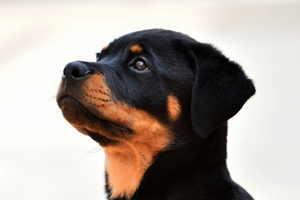 Rottie pup wanting food