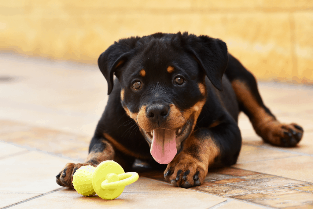 Rottie pup with a toy