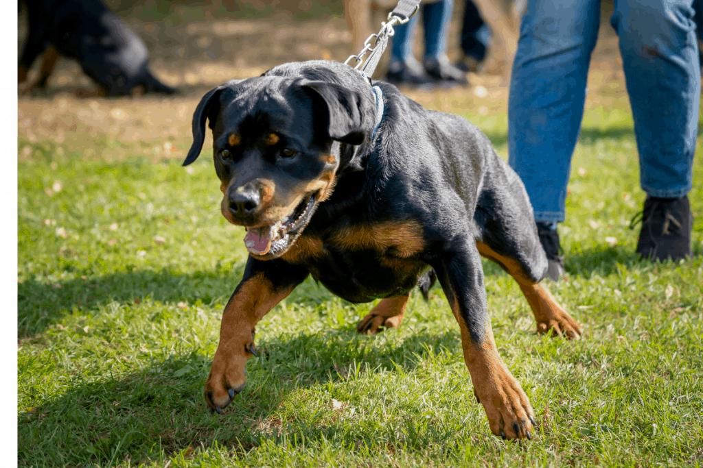 Rottweiler pulling leash