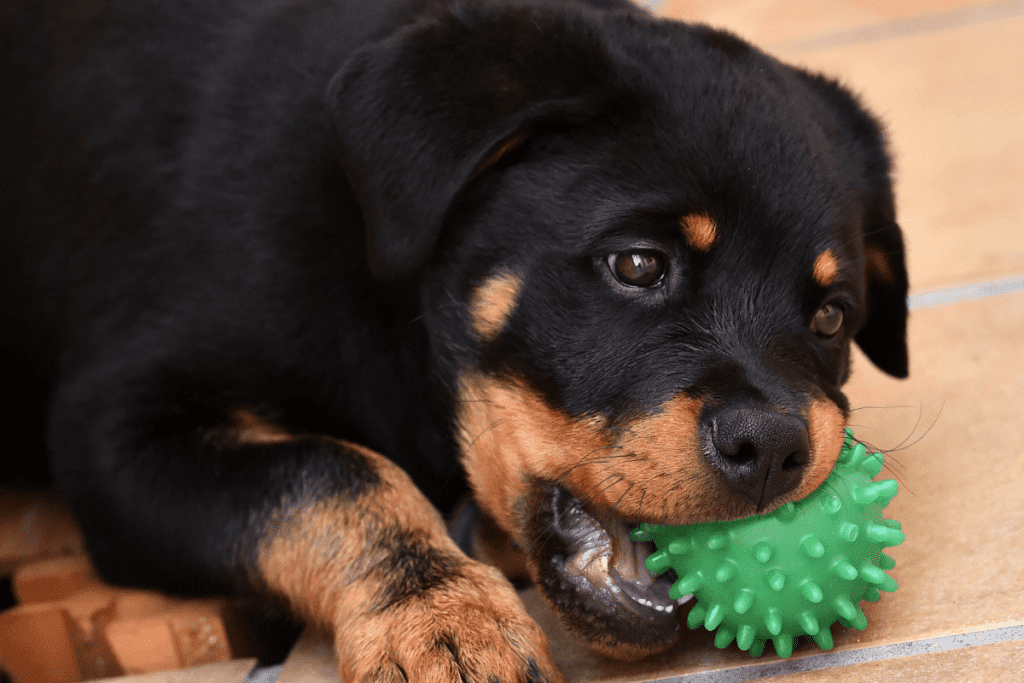 Rottie pup chewing