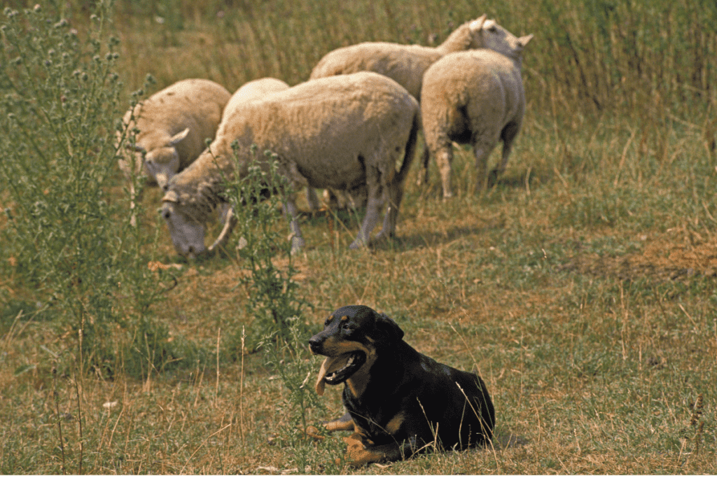 Rottweiler and sheep