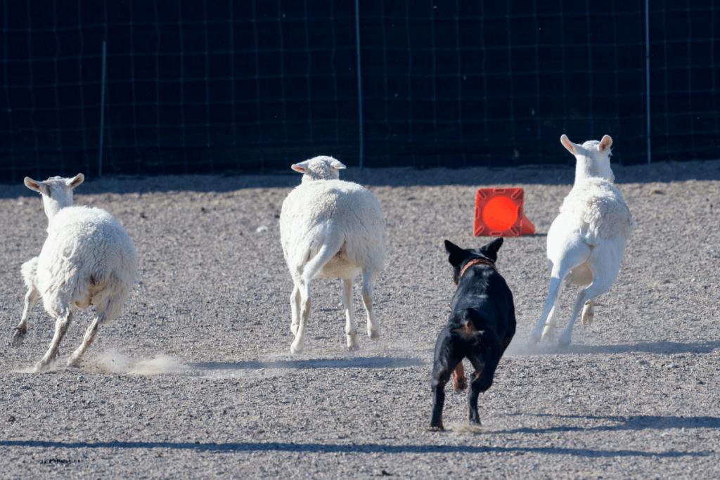 Rottweiler chasing farm animals