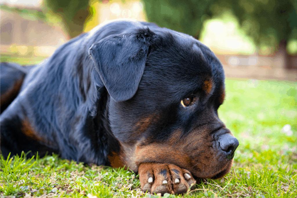 Rottweiler looking sad