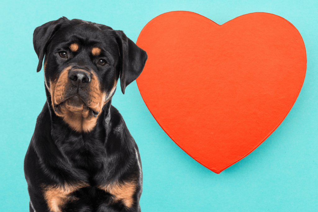 Rottweiler and heart concept
