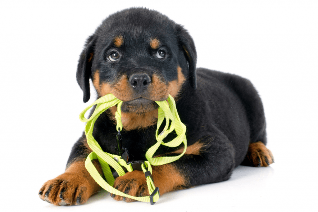puppy and leash
