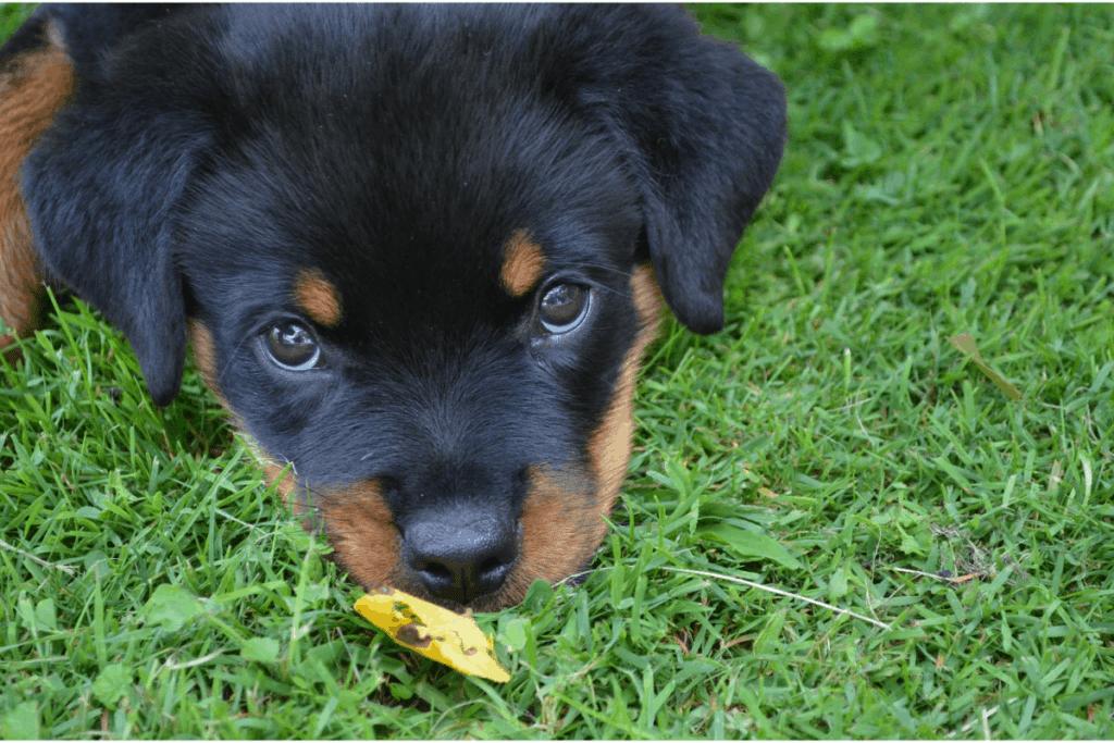 Rottweiler puppy face