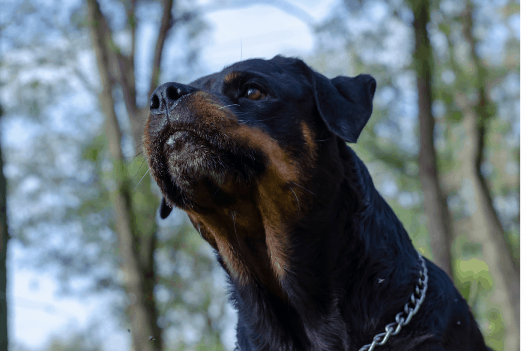 Rottweiler about to attack
