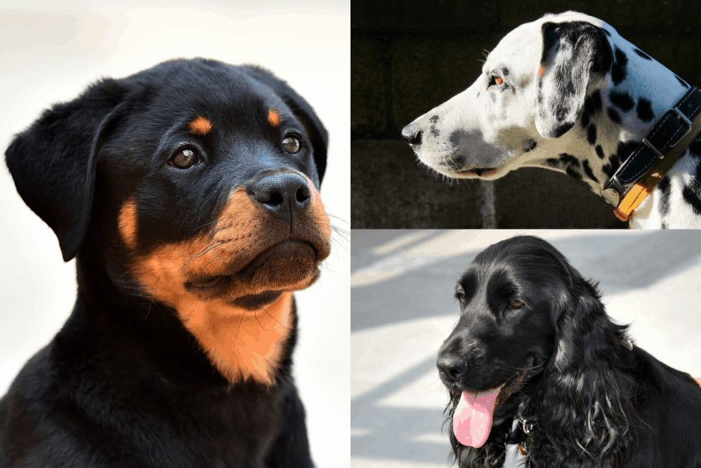 Rottweiler, Dalmatian, and Cocker Spaniel head clockwise