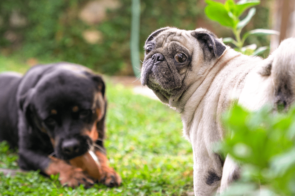 Rottweiler and Pug