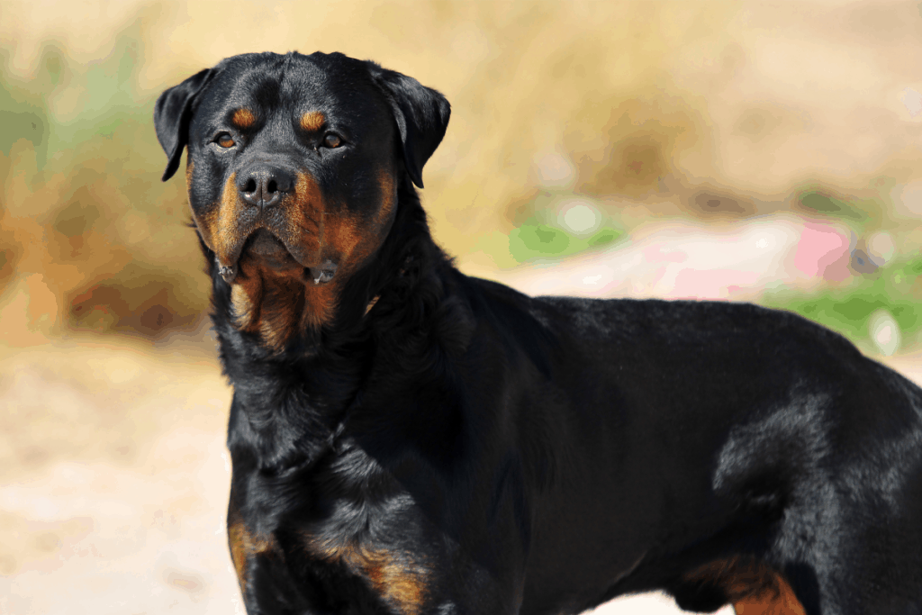 Rottweiler profile picture