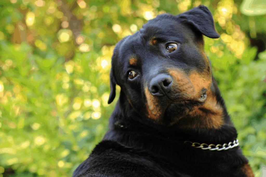 Rottweiler looking over shoulder