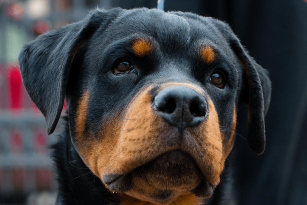 Rottweiler head with prominent ears