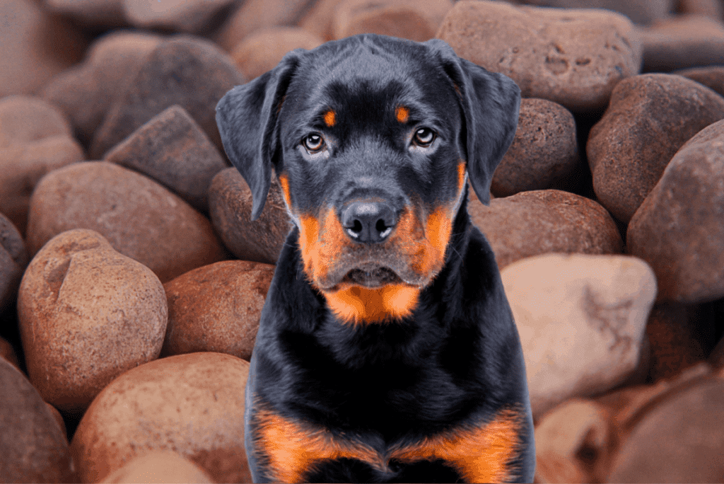 Rottweiler puppy and rocks