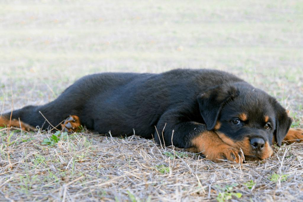 Rottweiler puppy in yard