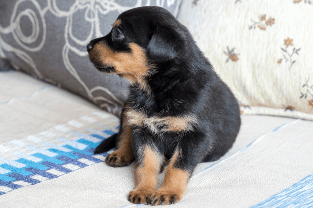 Rottweiler puppy on bed