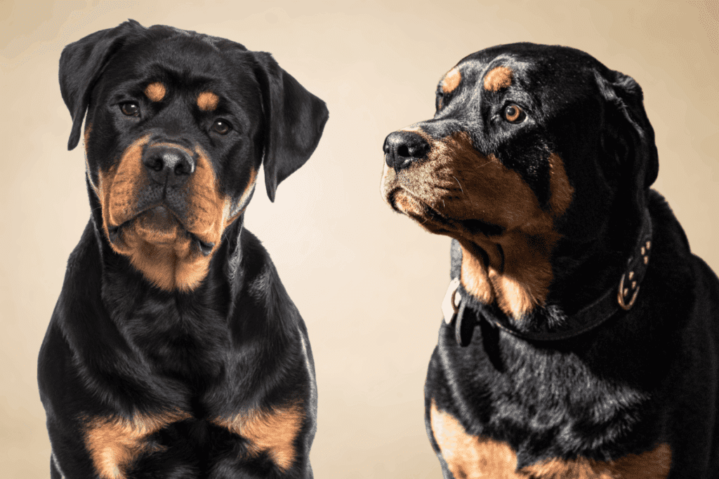 2 Rottweilers
