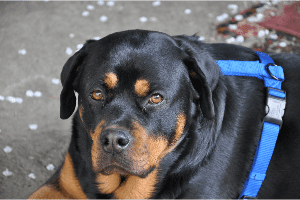 Rottweiler staring at you