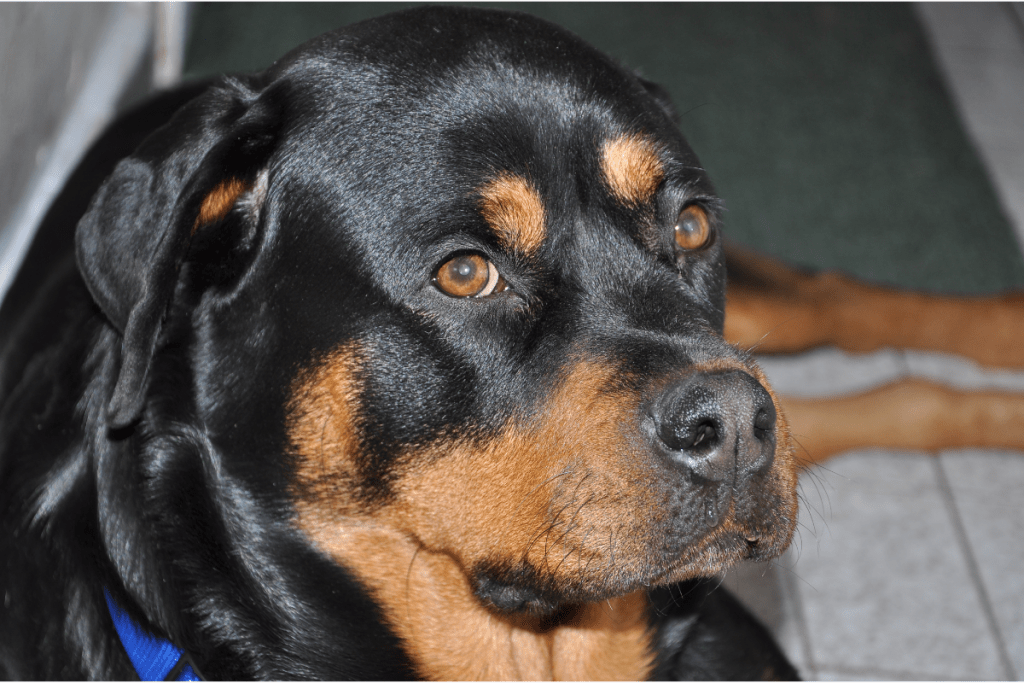 Rottweiler looking up