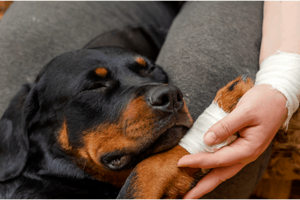 Rottweiler bandage paw